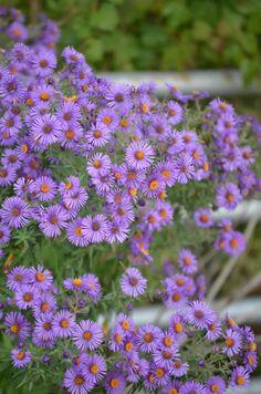 Prairie Moon Nursery :: Seeds :: Aster novae-angliae (New England Aster) 4 feet