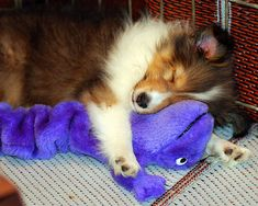 Snoozing collie puppy