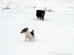Snow dogs on the farm! One of a 13 photo series.