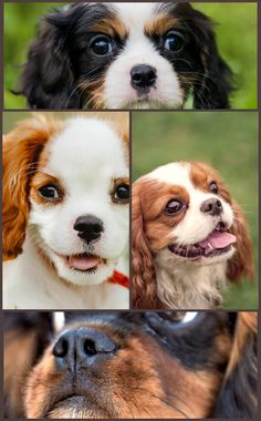 The Cavalier King Charles Spaniel is a stylish, noble, toy spaniel, slightly longer than tall, with moderate bones. The Cav maintains the develop of a working spaniel, yet in a smaller sized variation. Their stride is complimentary as well as sophisticated, with great reach as well as drive. Their smooth coat is of modest length, with a small wave permissible. Long feathering on the feet is a breed attribute. A hallmark of the breed is its gentle, sweet, melting expression. Want Good Ideas About Cavalier King Charles Dog, King Charles Spaniel, Working Spaniel, England And Scotland, Corgi, Pets, Animals, Beautiful, Corgis