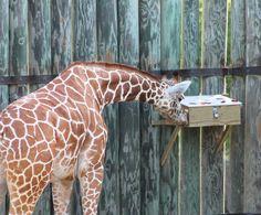 Giraffe produce feeder (Caldwell Zoo)