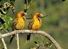 Foto araçari-banana (Pteroglossus bailloni) por Luiz Ribenboim | Wiki Aves - A Enciclopédia das Aves do Brasil