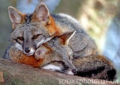 Gray, or Tree Fox (Urocyon cineredargenteus) sleeping in a tree in northeastern Florida - USA. They are found from southern Canada to Colombia and Venezuela. -kc