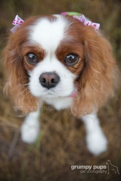 Cavalier King Charles Spaniel, Affectionate and Graceful. Spaniel Breeds, Spaniel Dog, Spaniels, I Love Dogs, Cute Dogs, Big Dogs, Most Cutest Dog, Cavalier King Charles Spaniel, Dog Competitions