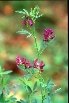 Alfalfa - An herb that is very mineral rich. Most of us know what it looks like dried. Here it is when flowering.