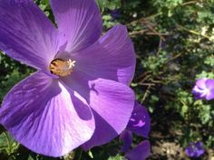 Purple Hibiscus  #plant #purple #hibiscus #photography