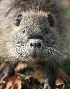 Nutria ( Myocastor coypus ) Hamsters, Rodents, Texas Animals, Red Eared Slider, Elephant Seal, Otters, Adorable Animals, Mice, Rats