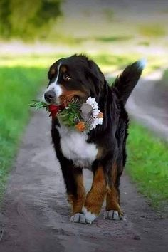 Terrific Screen bernese mountain dogs corgi Popular : A Bernese Mountain Doggy is actually a common significant canine breed. Them is probably the some varieties this come from the Sennenhund-type puppies. Cute Puppies, Cute Dogs, Dogs And Puppies, Beautiful Dogs, Animals Beautiful, Burmese Mountain Dog Puppy, Entlebucher, Baby Animals, Cute Animals
