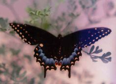Image from http://www.butterflybushes.com/Black_Swallowtail_on_Rue.jpg.