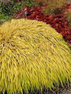 Short, golden sword-shaped foliage.  Hakonechloa macra 'All Gold' (Japanese Forest Grass)