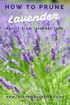 Autumn is the time of the year to take care of your lavenders. Lavender is a semi-shrub plant. The word Lavender Plant Uses, Indoor Lavender Plant, Lavender Pruning, English Lavender Plant, Lavender Care, Potted Lavender, Growing Lavender, Lavender Flowers, Lavender Sleep