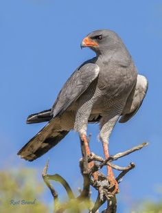 The Pale Chanting Goshawk - Melierax canorus, can be found in eastern and southern Africa. This bird eats mainly lizards and insects taken in the long grass; it will also eat small mammals up to the size of a hare, and can fly down birds such as quail in flight. Photo by Rust Brand.
