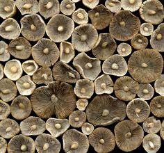 xxx ~ 35929 mushrooms by horticultural art (flickr)