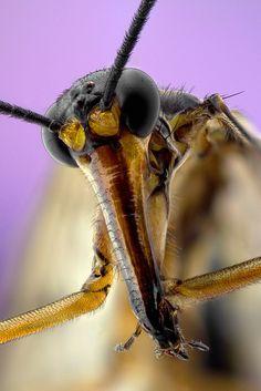 Scorpian Fly (Panorp