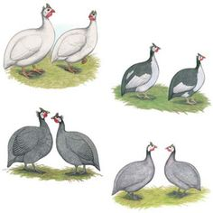 Hatcery Choice Guinea Fowl Straight run only. White, Pearl, Pied, and Lavendar. $3.80 each. Get about 8 maybe
