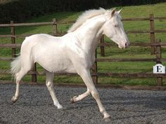 Cremello Stallion at stud, semen available, full service, insemination on your premises. Shovern Stud fresh, chilled and frozen semen. Pretty Horses, Beautiful Horses, Different Horse Breeds, Dutch Warmblood, White Horses, Thoroughbred, My Ride, Zebras, The Magicians