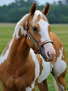 Palomino Horse My mom used to ride them. They are really beautiful.
