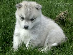 Grey & White Siberian Husky Puppy