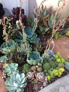 Incredible Front Yard Landscaping Ideas Pretty little corner garden of succulents.Pretty little corner garden of succulents. Succulent Landscaping, Succulent Gardening, Cacti And Succulents, Front Yard Landscaping, Planting Succulents, Garden Plants, Planting Flowers, Landscaping Ideas, Succulent Garden Ideas