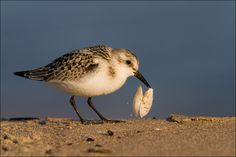 Sanderling with shell by Marcin Perkowski on 500px