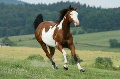 <b>Paint</b> <b>Horse</b> - Your Guide to <b>Paint</b> <b>Horses</b>
