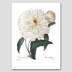Cottage Chic Decor White Peony Wall Art by ParagonVintagePrints