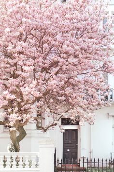 London Photography - Magnolia, Notting Hill, Pink Blossom Tree, England Travel Photo, Large Wall Art, Home Decor