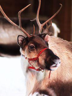 Das Rentier vom Weihnachtsmann - so wunderschön