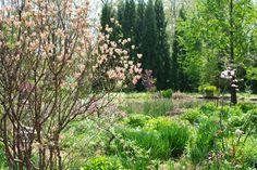 The Pinkshell azalea, Rhododendron vaseyi, in bud beside Chanticleer's Pond Garden.