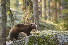 The Wolverine (Gulo Gulo), Eastern Finland