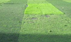 Cỏ nhân tạo chất lượng và cỏ nhân tạo chất lượng kém - Cỏ Nhân Tạo, cỏ nhân tạo sân bóng đá, cỏ nhân tạo sân vườn, cỏ nhân tạo trang trí