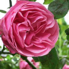 Diese Rose schenk ich Dir