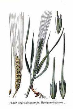 Hordeum distichon Two-Rowed Barley