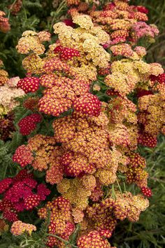 64dcf818de784 Strawberry Seduction Yarrow - Monrovia - Strawberry Seduction Yarrow