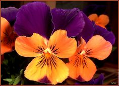 orange and purple violets ~ Johnny jump-ups.  My grandma gave me a small patch of these a long time ago.  Today I still love them.