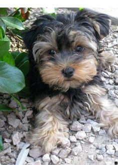 "Check out our website for additional relevant information on ""Yorkshire terriers"". It is an outstanding location to learn more. Morkie Puppies, Yorkshire Terrier Puppies, Yorkie Puppy, Teacup Puppies, Cute Puppies, Cute Dogs, Dogs And Puppies, Chihuahua, Yorkies"