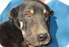German Shepherd Dog/Shar Pei Mix. Meet Lucas a Dog for Adoption.