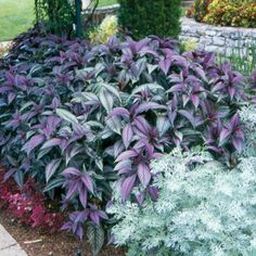 to Grow the Iridescent Leaves of Persian Shield Persian Shield - Strobilanthes dyerianus is a colorful plant for indoors or the garden.Persian Shield - Strobilanthes dyerianus is a colorful plant for indoors or the garden. Tall Plants, Shade Plants, Persian Shield Plant, Front Flower Beds, Colorful Plants, Free Plants, Shade Garden, Garden Planning, Backyard Landscaping