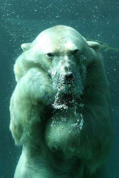polar bear in ocean