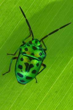 green beetle bug