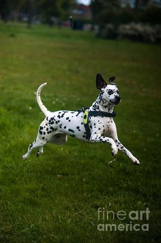 Flying Crazy Dog. Kokkie. Dalmation Dog by Jenny Rainbow. #DalmationDog #Dog #Dalmation #Breed #Spring #SpringTime #Animal #BeautifulDog #Netherlands #Holland #Dalmatian #DalmatianDog #Play #Action #Happinnes #GreetingCard