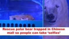 This saddened polar bear is trapped in a small enclosure at the Grandview shopping center in Guangzhou, China. If you take a ...
