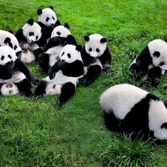 The #adorable #pandas can be visited at the Panda Breeding Base in #Chengdu, #China   via instagram by discoverchinanow