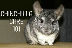 Chinchilla Care 101 - Great article on owning and caring for chinchillas - Hamsters Chinchillas, Hamsters, Rodents, Chinchilla Facts, Chinchilla Food, Guinea Pig Care, Guinea Pigs, Animals And Pets, Cute Animals