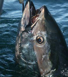 bluefin are caught here every year Tuna Fishing, Fishing Life, Fishing Humor, One Fish Two Fish, Big Fish, Offshore Fishing, Salt Water Fish, Deep Sea Fishing, Ocean Creatures