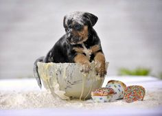 Pupcakes are almost ready!  Cute Overload.