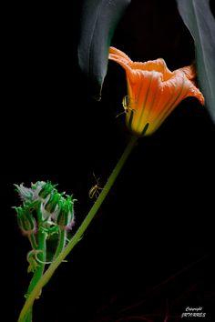 dranilj1 on Tumblr:  Pumpkin Flower
