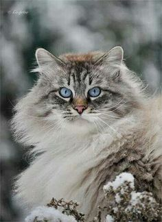 Gandalf -- what a beautiful cat! Cute Cats And Kittens, I Love Cats, Crazy Cats, Cool Cats, Kittens Cutest, Pretty Cats, Beautiful Cats, Animals Beautiful, Cute Animals