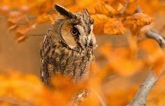 Сова на фоне осенних листьев.