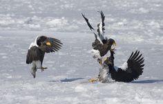 Bird fight KO